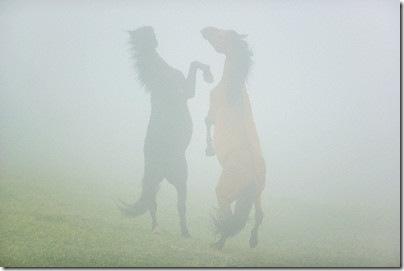 Wild Spanish Mustang Stallions © Tim Davis/Corbis